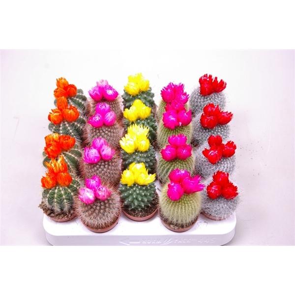 <h4>Cactus versierd Met 3 grote strobloemen</h4>