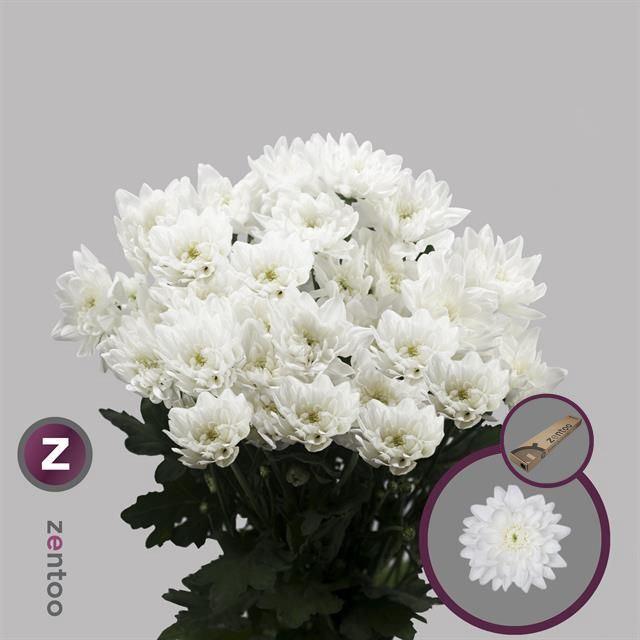 <h4>Chrysanthemum TR 'Pina Colada'</h4>