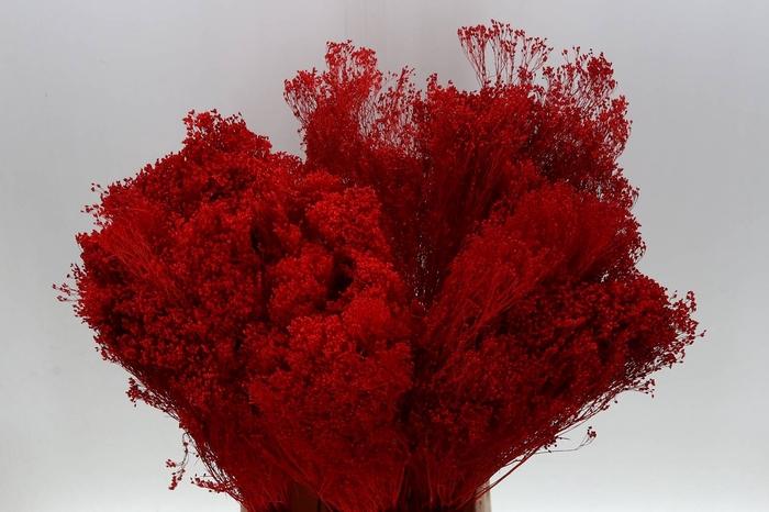 <h4>Broom Bloom Rosso (P. Bos) geprepareerd</h4>
