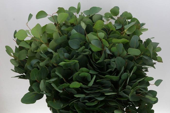 <h4>Eucalyptus Populus (P. Bos)</h4>