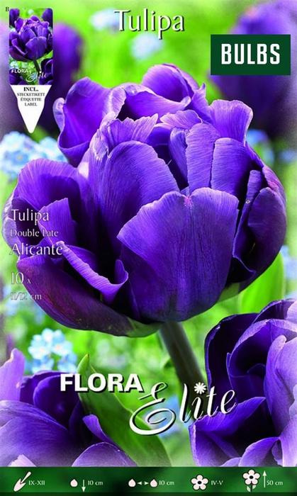 Z Tulipa Late Alicante Double