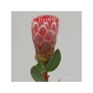 <h4>Protea Ivy</h4>
