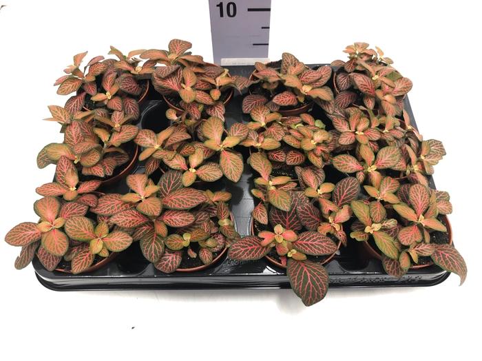 <h4>Fittonia verschaffeltii 'Joly Josan' 8,5Ø 10cm</h4>