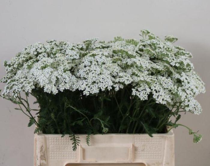 <h4>Achillea White Beauty</h4>