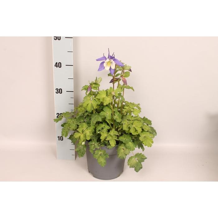 <h4>vaste planten 19 cm  Aquilegia Deep Blue & White</h4>