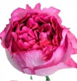 Rosa Gr.Yves Piaget