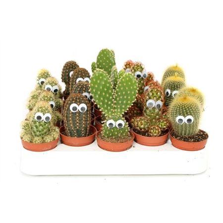 <h4>Cactus 5,5 Cm Met Ogen</h4>