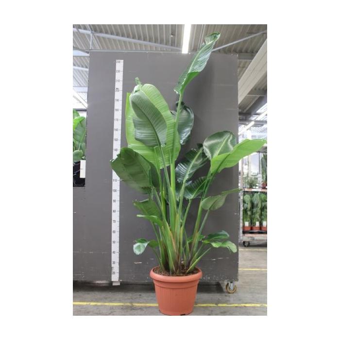 <h4>Strelitzia nicolai</h4>