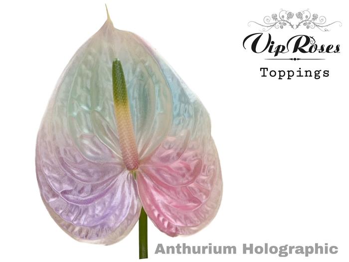 <h4>Anthurium andr.   ...color H%</h4>