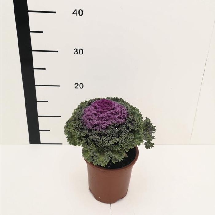 <h4>Brassica surtida</h4>