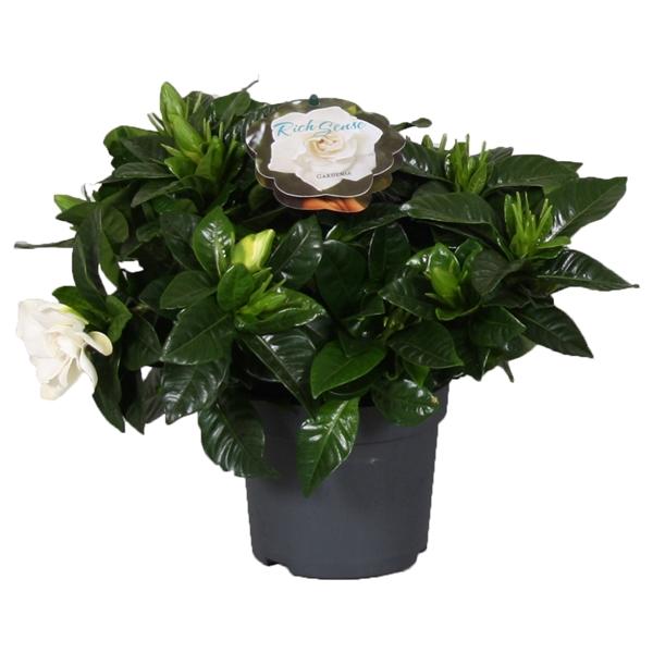 <h4>Gardenia Jasminoides 13cm</h4>