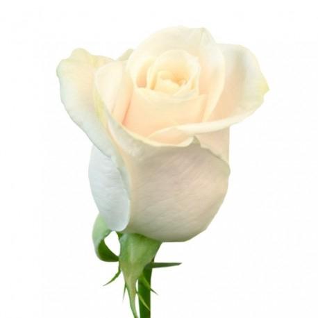 <h4>Rosa gr Vendela (BELLAFLOR)</h4>