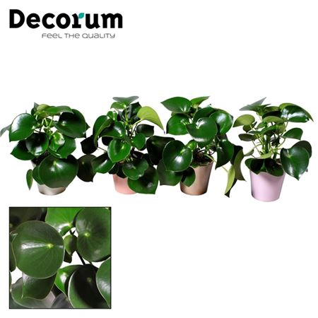 <h4>Collectie Moments - Peperomia Raindrop In Pot Coco</h4>
