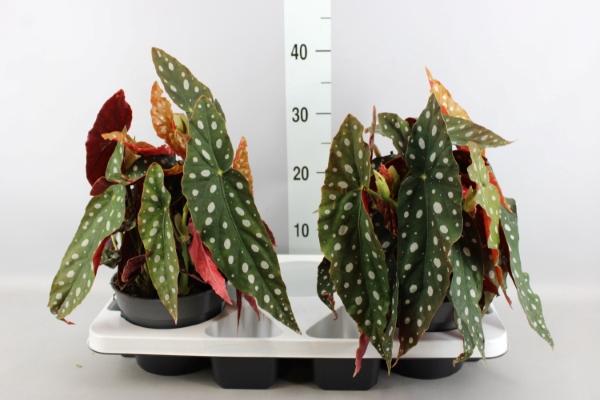 <h4>Begonia BD maculata 'Wightii'</h4>
