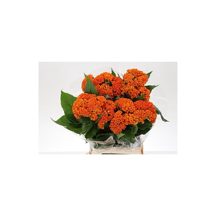 <h4>Cel C Reprise Orange</h4>