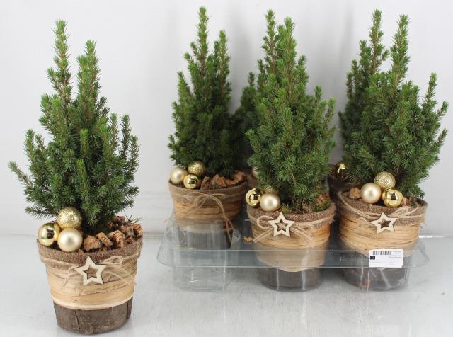 <h4>Picea Gl Perfecta</h4>