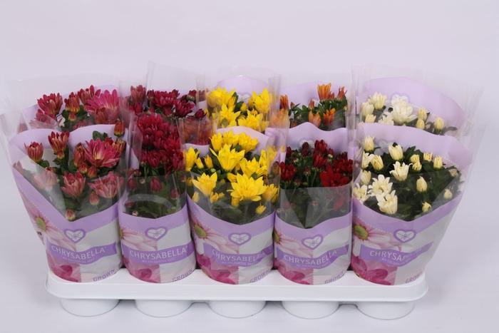 <h4>Chrysanthemum gemengd 7klr.</h4>