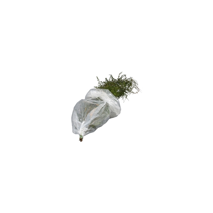 <h4>Asparagus Selvatico</h4>