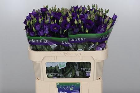 <h4>Eust E Piccolo Violet</h4>