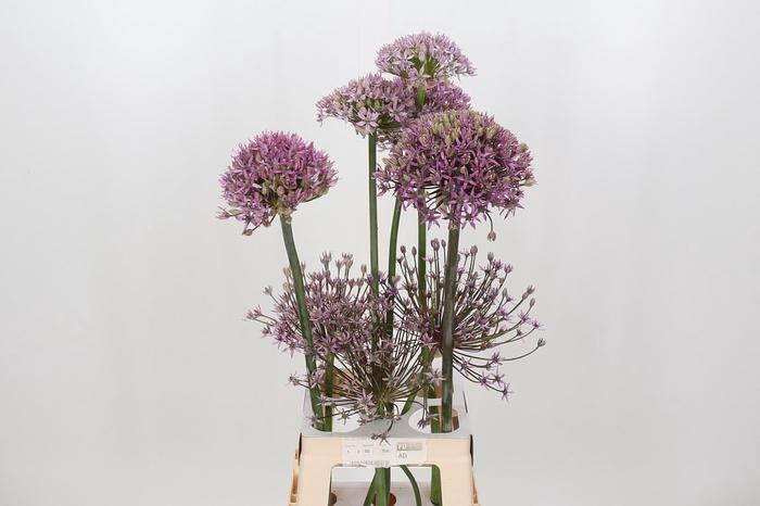 <h4>Allium Scorpio</h4>