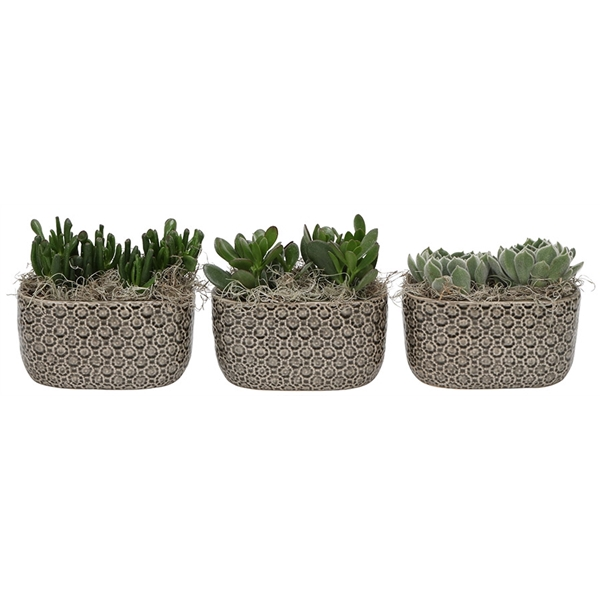 <h4>Little lizard greens succulenten in pattern twins grey</h4>