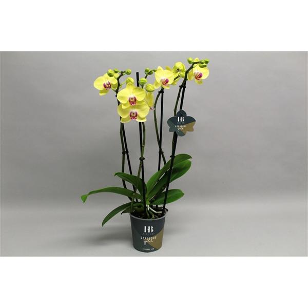 <h4>Phalaenopsis geel 4 tak Georgeous Gold</h4>