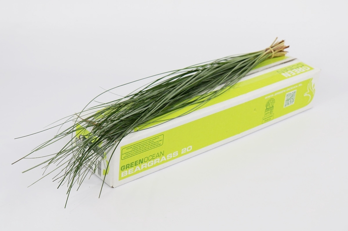 <h4>Beargrass  x 20 Green Ocean</h4>