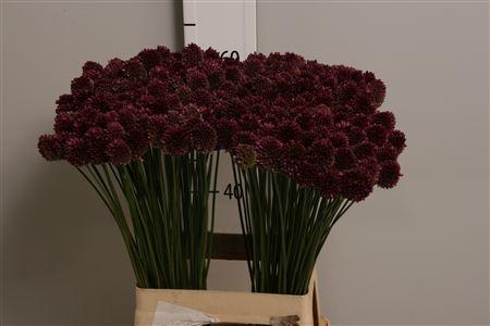 <h4>Allium Sphaerocephal</h4>