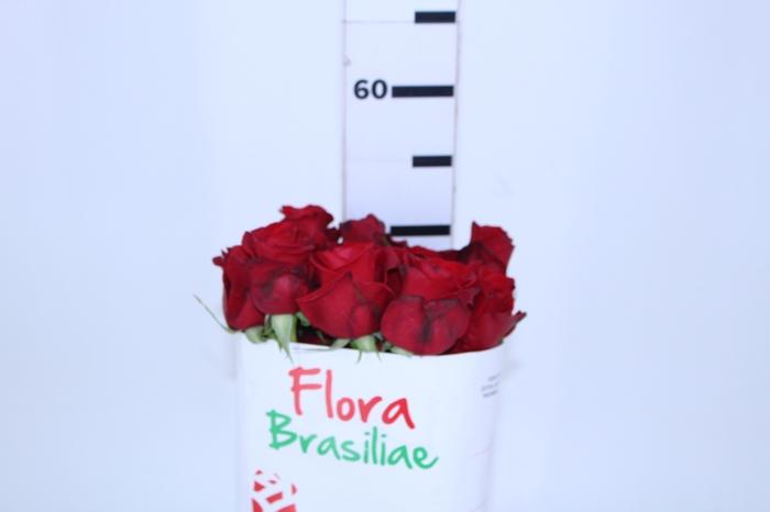 <h4>ROSA FREEDOM 050 CM ESTUFA</h4>