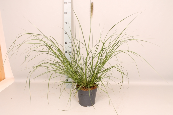 vaste planten 19 cm  Pennisetum Lady U