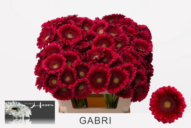 <h4>GE MI GABRI</h4>