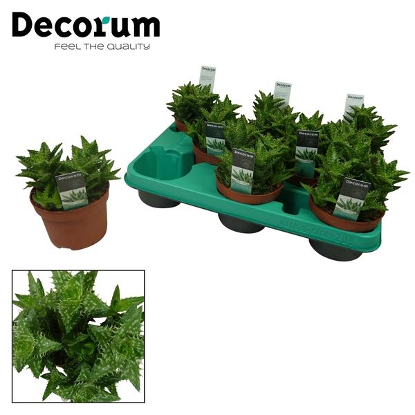 <h4>Aloe squarrosa (Decorum)</h4>