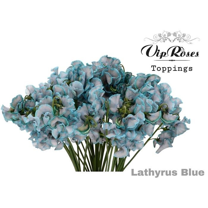 <h4>LATHYR BLUE</h4>
