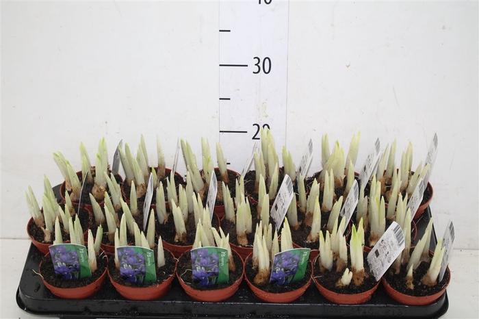 <h4>Iris Reticulata 'harmony'</h4>
