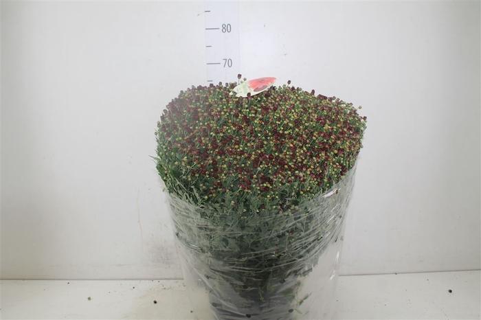 <h4>Chrysanth Gr Bol 70cm Rood</h4>