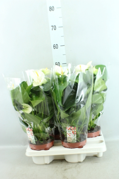 <h4>Anthurium andr. 'Sharade White'</h4>