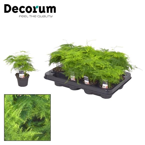 <h4>Asparagus plumosus 7 cm (Decorum)</h4>