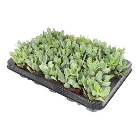 <h4>Crass Arborescens Undulatifolia</h4>