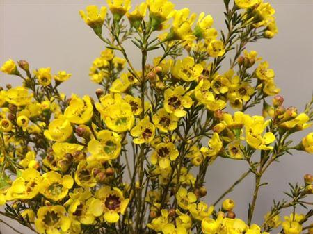 <h4>Waxflower Yellow</h4>