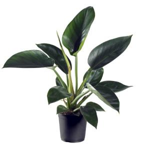 <h4>Philodendron Millions 11Ø 30cm</h4>