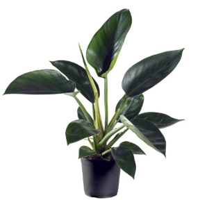 <h4>Philodendron Green Princes 11Ø 30cm</h4>