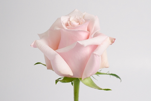 <h4>Rosa gr Mother of pearl (Nevado)</h4>