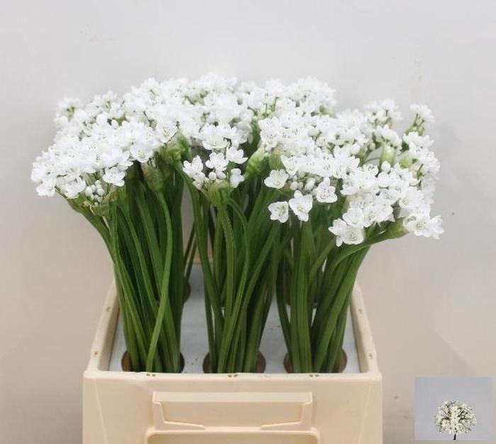 <h4>Allium Neapolitanum</h4>