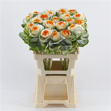 <h4>Brassica White-orange</h4>