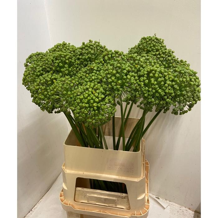 <h4>Allium Zaadbollen</h4>