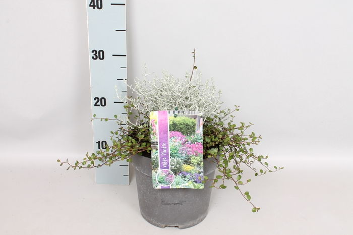 vaste planten 19 cm  Calocephalus Muehlenbeckia