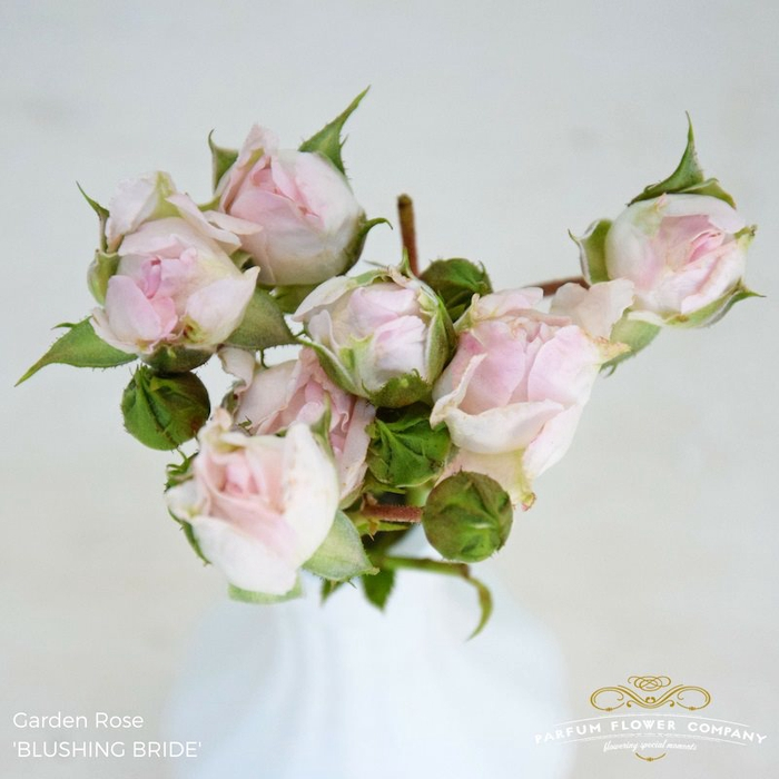 R TR GARDEN BLUSHING BRIDE