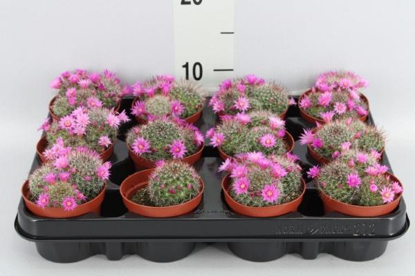 <h4>Mammillaria zeilmanniana</h4>