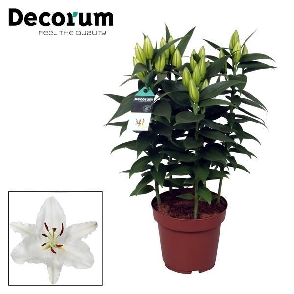 <h4>Lilium or. Oxygen</h4>