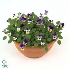 Hangpot 23 cm viola Cornuta Diverse kleuren